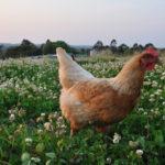 certified-organic-eggs